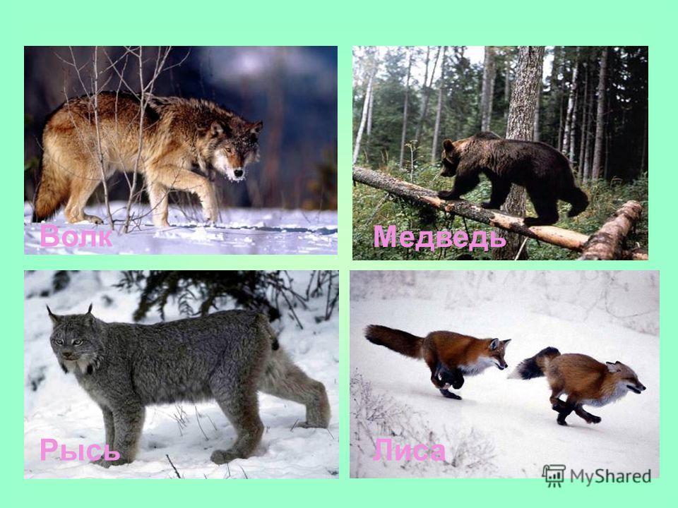 Волк Медведь РысьЛиса