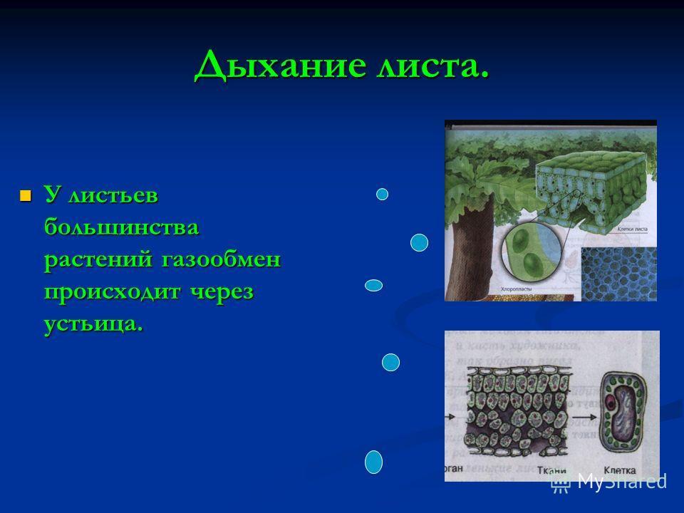 Дыхание листа. У листьев большинства растений газообмен происходит через устьица. У листьев большинства растений газообмен происходит через устьица.