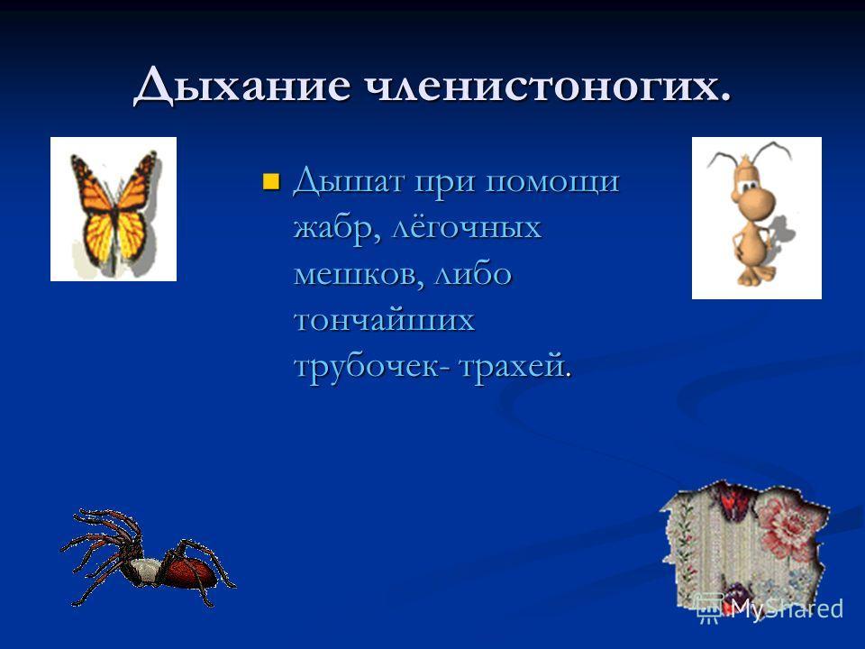 Дыхание членистоногих. Дышат при помощи жабр, лёгочных мешков, либо тончайших трубочек- трахей. Дышат при помощи жабр, лёгочных мешков, либо тончайших трубочек- трахей.