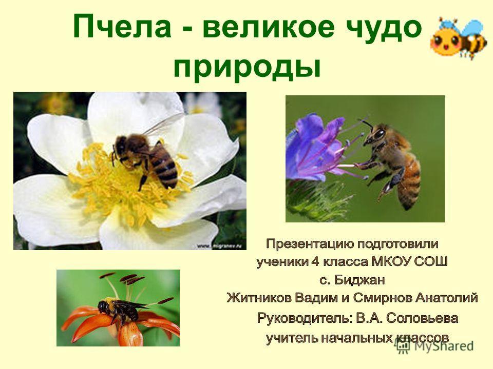 Пчела - великое чудо природы