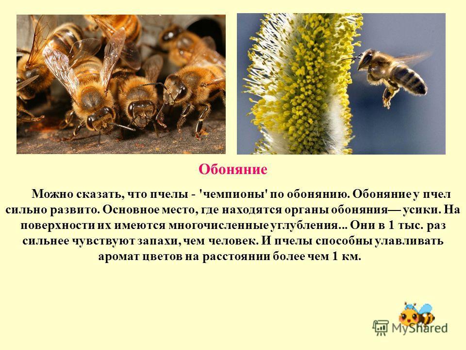 Обоняние Можно сказать, что пчелы - 'чемпионы' по обонянию. Обоняние у пчел сильно развито. Основное место, где находятся органы обоняния усики. На поверхности их имеются многочисленные углубления... Они в 1 тыс. раз сильнее чувствуют запахи, чем чел