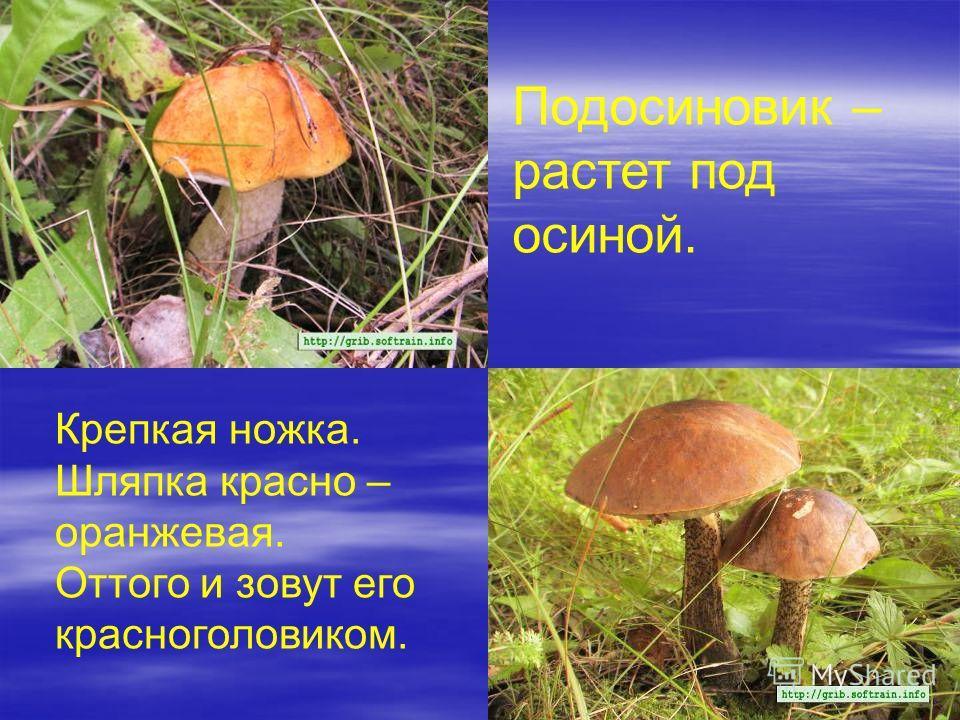 Подосиновик – растет под осиной. Крепкая ножка. Шляпка красно – оранжевая. Оттого и зовут его красноголовиком.