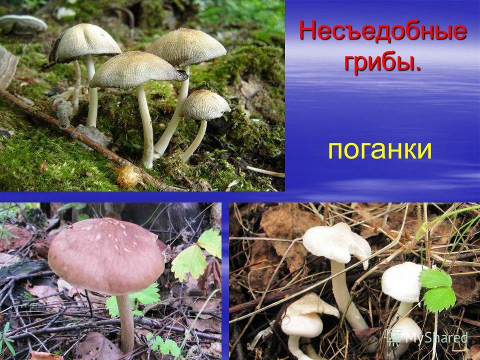 Несъедобные грибы. поганки