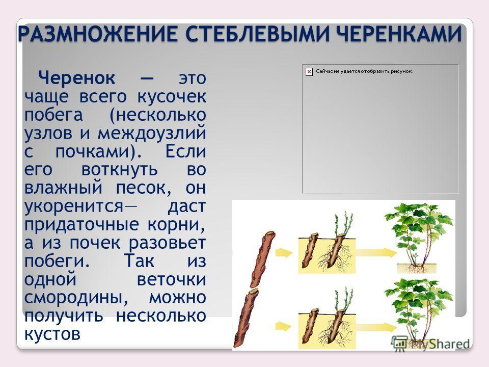 Вегетативное размножение - это увеличение числа особей растений в результате их развития из частей материнского растения. Образуются особи генетически идентичные, копируя родительский организм. Вегетативное размножение способствует увеличению числа о