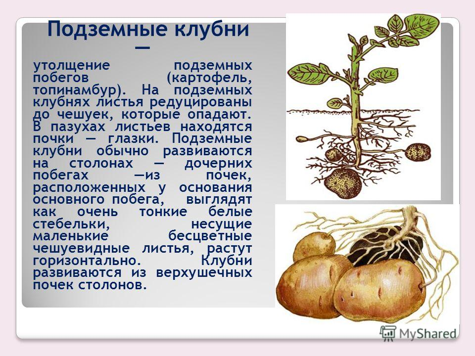 РАЗМНОЖЕНИЕ КЛУБНЯМИ Клубни утолщенные мясистые части стебля, состоящие из одного или нескольких междоузлий. Бывают надземными и подземными. Надземные утолщение главного стебля (кольраби), боковых побегов. Часто имеют листья. Надземные клубни являютс