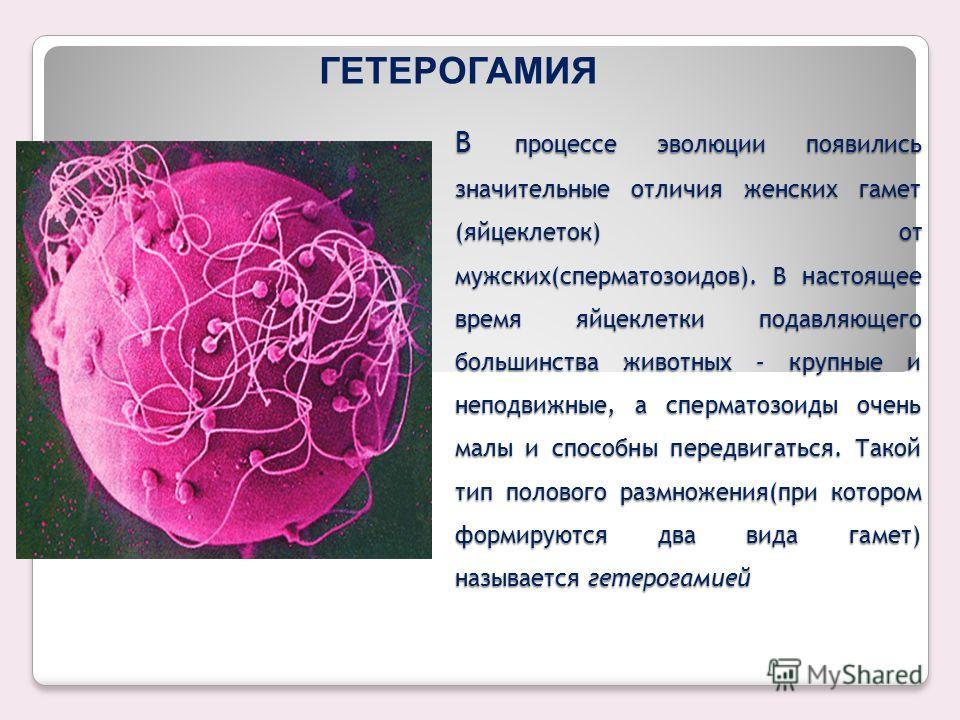 ИЗОГАМИЯ У наиболее древних организмов формируется только один вид гамет; нельзя сказать, женскими они являются или мужскими