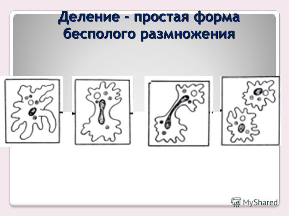 ДЕЛЕНИЕ Деление у прокариот идет путем перетяжки клетки на две части. Перед делением единственная кольцевая хромосома удваивается, между двумя дочерними хромосомами возникает перегородка и клетка делится надвое. Эукариот ы (многие одноклеточные водор