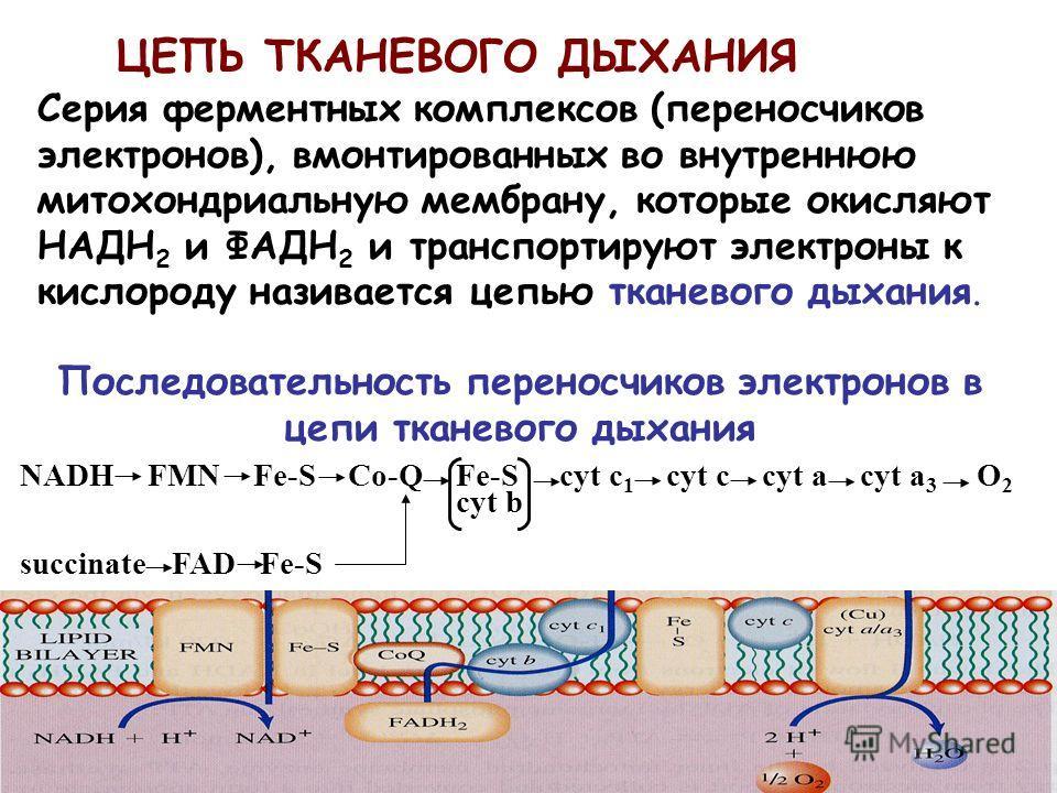 ЦЕПЬ ТКАНЕВОГО ДЫХАНИЯ Серия ферментных комплексов (переносчиков электронов), вмонтированных во внутреннюю митохондриальную мембрану, которые окисляют НАДH 2 и ФАДH 2 и транспортируют электроны к кислороду називается цепью тканевого дыхания. Последов