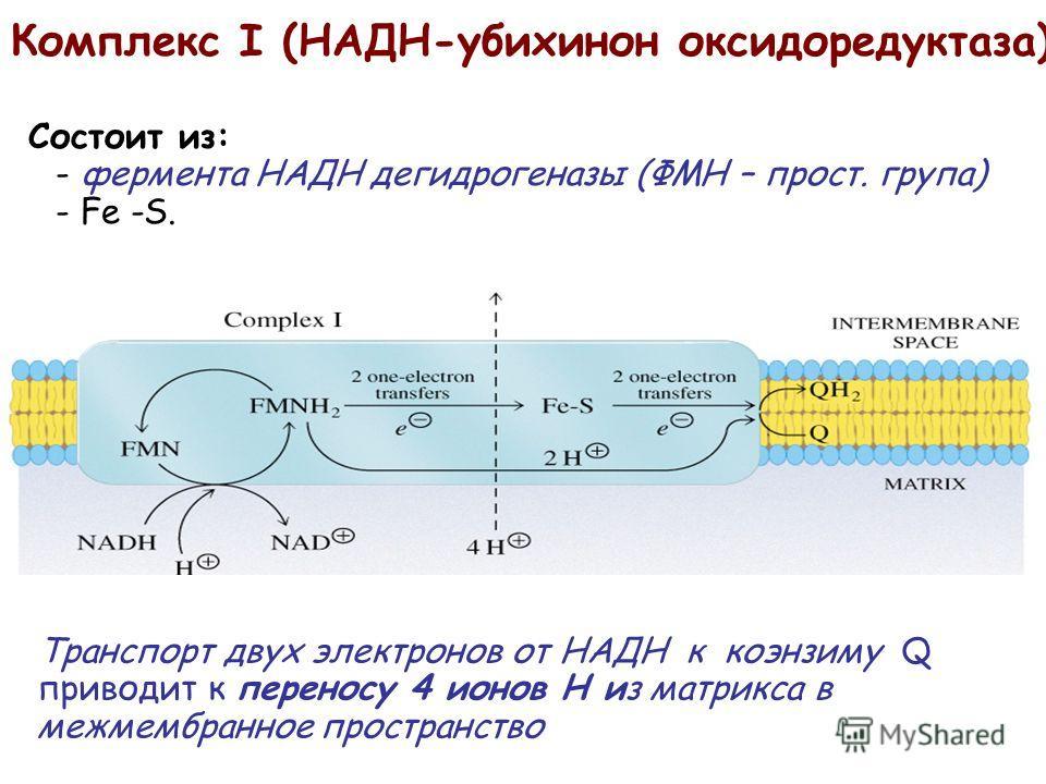 Состоит из: - фермента НАДH дегидрогеназы (ФМН – прост. група) - Fe -S. Комплекс I (НАДH-убихинон оксидоредуктаза) Транспорт двух электронов от НАДH к коэнзиму Q приводит к переносу 4 ионов Н из матрикса в межмембранное пространство