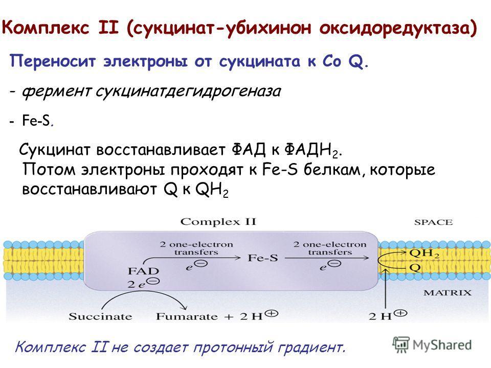 Комплекс II (сукцинат-убихинон оксидоредуктаза) Переносит электроны от сукцината к Co Q. - фермент сукцинатдегидрогеназа -Fe-S. Сукцинат восстанавливает ФАД к ФАДH 2. Потом электроны проходят к Fe-S белкам, которые восстанавливают Q к QH 2 Комплекс I