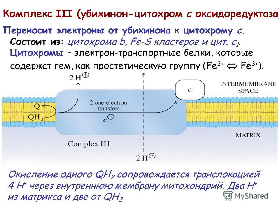 Комплекс III (убихинон-цитохром c оксидоредуктаза) Переносит электроны от убихинона к цитохрому c. Состоит из: цитохрома b, Fe-S кластеров и цит. c 1. Цитохромы – электрон-транспортные белки, которые содержат гем, как простетическую группу (Fe 2+ Fe