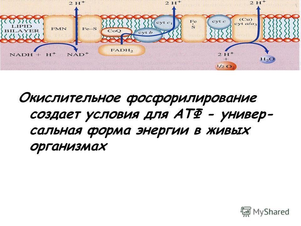 Окислительное фосфорилирование создает условия для АТФ - универ- сальная форма энергии в живых организмах