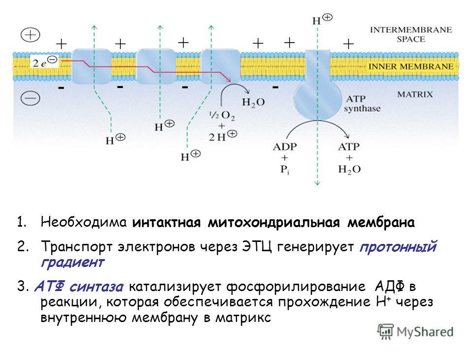 + +++ + + -- - - 1.Необходима интактная митохондриальная мембрана 2.Транспорт электронов через ЭТЦ генерирует протонный градиент 3. AТФ синтаза катализирует фосфорилирование АДФ в реакции, которая обеспечивается прохождение Н + через внутреннюю мембр