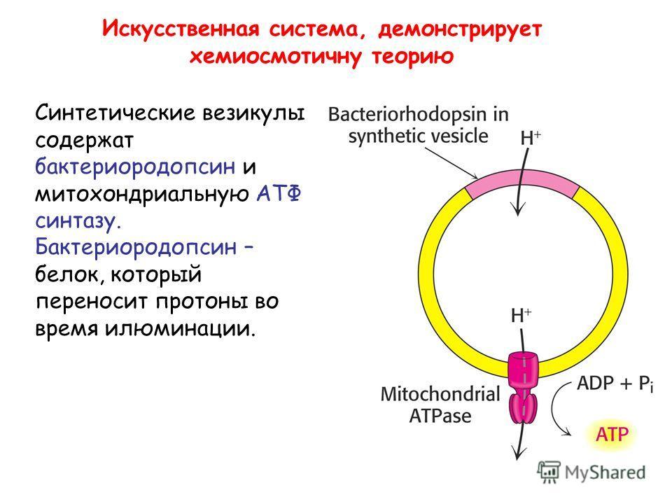Искусственная система, демонстрирует хемиосмотичну теорию Синтетические везикулы содержат бактериородопсин и митохондриальную АТФ синтазу. Бактериородопсин – белок, который переносит протоны во время илюминации.