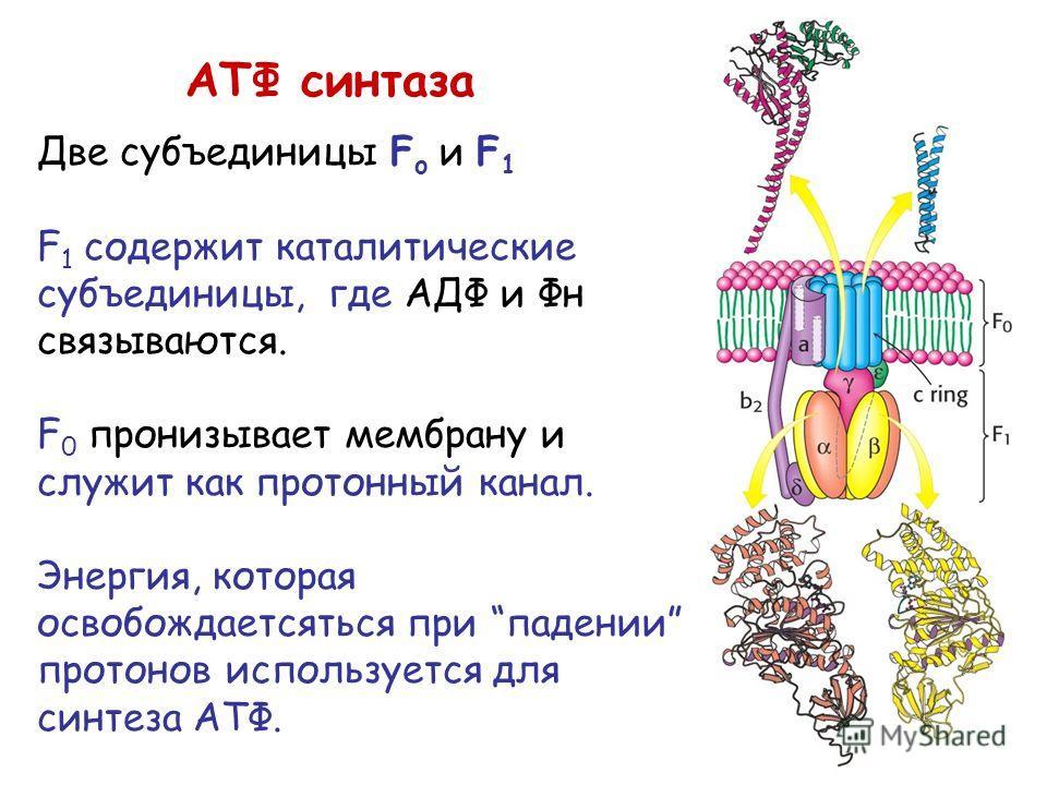 АТФ синтаза Две субъединицы F o и F 1 F 1 содержит каталитические субъединицы, где АДФ и Фн связываются. F 0 пронизывает мембрану и служит как протонный канал. Энергия, которая освобождаетсяться при падении протонов используется для синтеза АТФ.