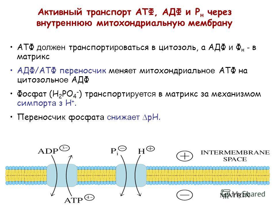 АТФ должен транспорт иро ват ь ся в цитозоль, а АДФ и Ф н - в матрикс AДФ/ATФ перенос ч ик м е ня ет м и тохондр и альн ое ATФ на цитозольн ое АДФ Фосфат (H 2 PO 4 - ) транспорт ируется в матрикс за механ и змом симпорт а з H +. Перенос ч и к фосфат