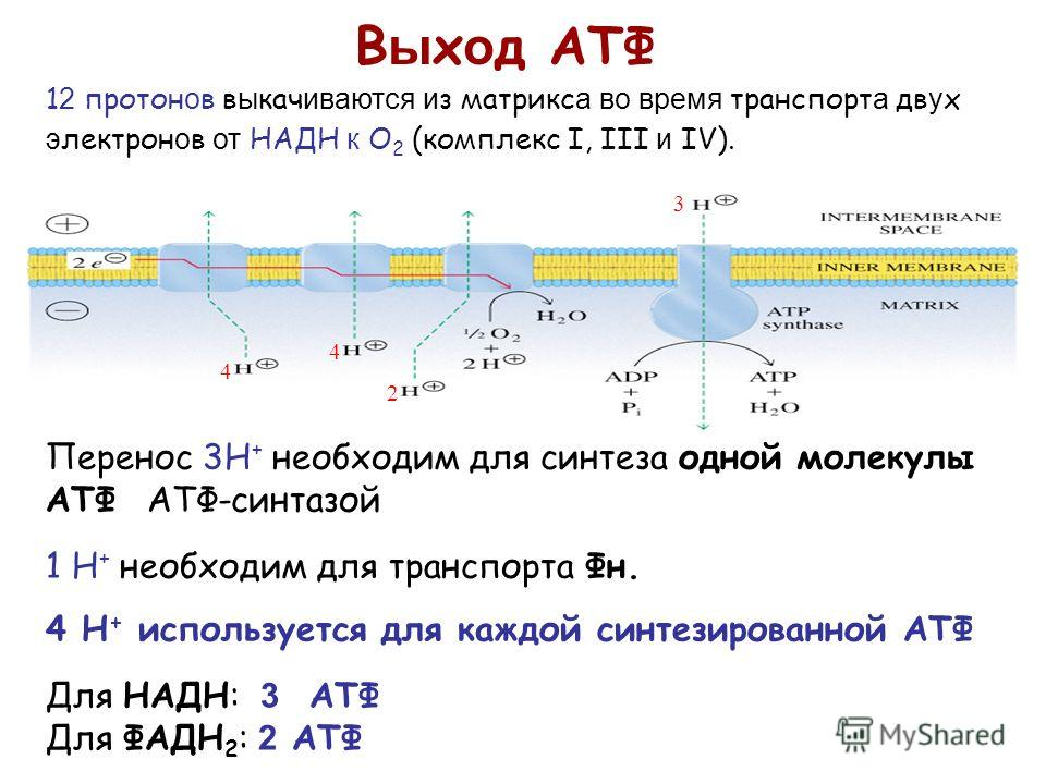 Перенос 3H + необходим для синтеза одной молекулы АТФ АТФ-синтазой 1 H + необходим для транспорта Фн. 4 H + используется для каждой синтезированной АTФ Для НАДН: 3 АТФ Для ФАДН 2 : 2 ATФ В ы х о д АТФ 1 2 протон о в в ы кач иваются и з матрикс а во в