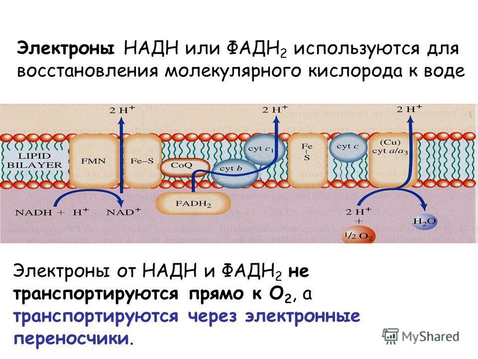 Электроны НАДН или ФАДH 2 используются для восстановления молекулярного кислорода к воде Электроны от НАДН и ФАДH 2 не транспортируются прямо к O 2, а транспортируются через электронные переносчики.
