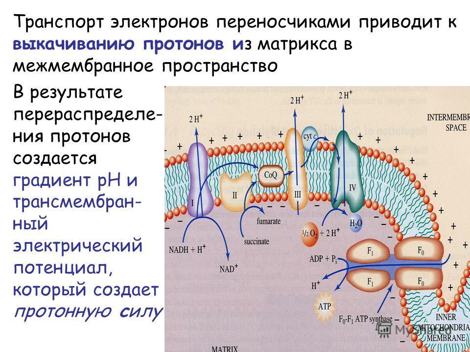 Транспорт электронов переносчиками приводит к выкачиванию протонов из матрикса в межмембранное пространство В результате перераспределе- ния протонов создается градиент pH и трансмембран- ный электрический потенциал, который создает протонную силу
