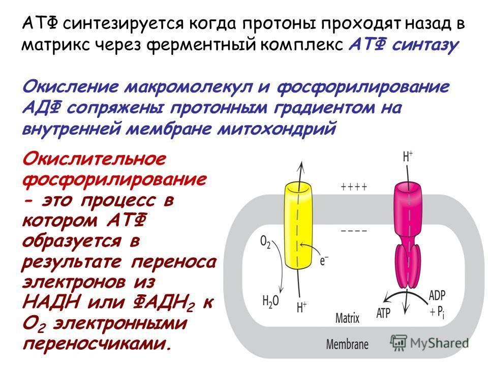 АТФ синтезируется когда протоны проходят назад в матрикс через ферментный комплекс АТФ синтазу Окисление макромолекул и фосфорилирование АДФ сопряжены протонным градиентом на внутренней мембране митохондрий Окислительное фосфорилирование - это процес