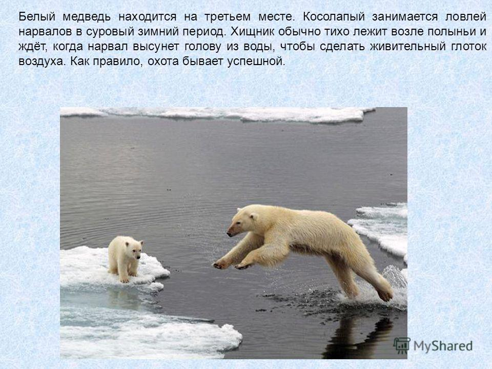 Белый медведь находится на третьем месте. Косолапый занимается ловлей нарвалов в суровый зимний период. Хищник обычно тихо лежит возле полыньи и ждёт, когда нарвал высунет голову из воды, чтобы сделать живительный глоток воздуха. Как правило, охота б