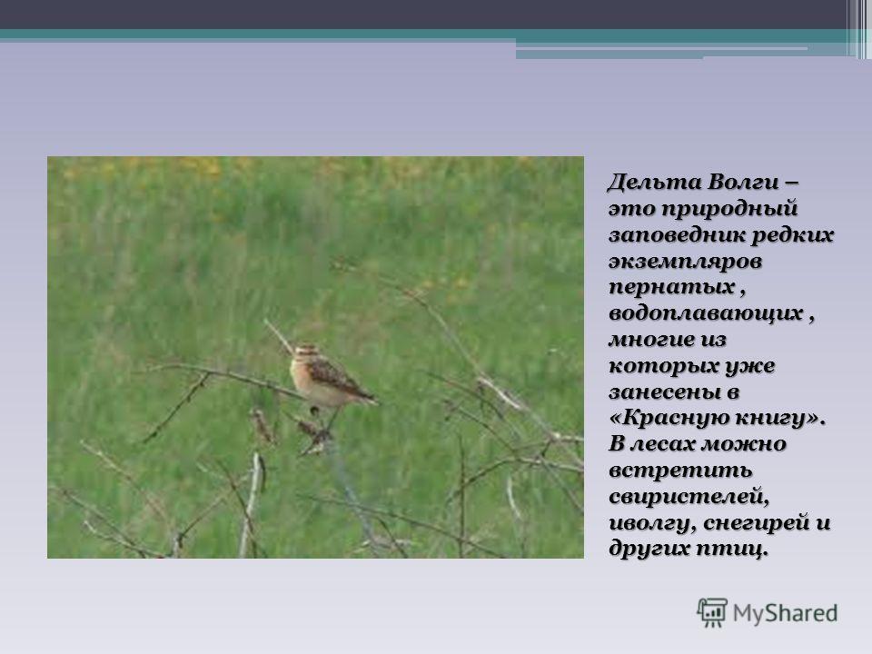 Дельта Волги – это природный заповедник редких экземпляров пернатых, водоплавающих, многие из которых уже занесены в «Красную книгу». В лесах можно встретить свиристелей, иволгу, снегирей и других птиц.