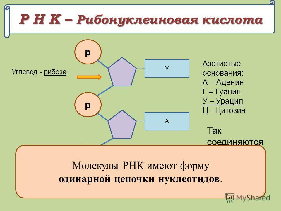 Р Н К – Рибонуклеиновая кислота р А, Г, У, Ц Углевод - рибоза Азотистые основания: А – Аденин Г – Гуанин У – Урацил Ц - Цитозин р А р Г У Так соединяются нуклеотиды в цепочку Молекулы РНК имеют форму одинарной цепочки нуклеотидов.