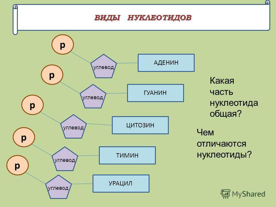 ВИДЫ НУКЛЕОТИДОВ р ГУАНИН углевод р УРАЦИЛ углевод р ТИМИН углевод р ЦИТОЗИН углевод р АДЕНИН углевод Какая часть нуклеотида общая? Чем отличаются нуклеотиды?