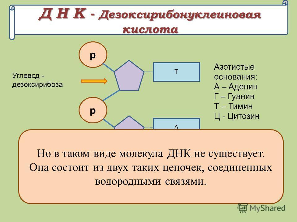 Д Н К - Дезоксирибонуклеиновая кислота р А, Г, Т, Ц Углевод - дезоксирибоза Азотистые основания: А – Аденин Г – Гуанин Т – Тимин Ц - Цитозин р А р Г Т Так соединяются нуклеотиды в цепочку Но в таком виде молекула ДНК не существует. Она состоит из дву