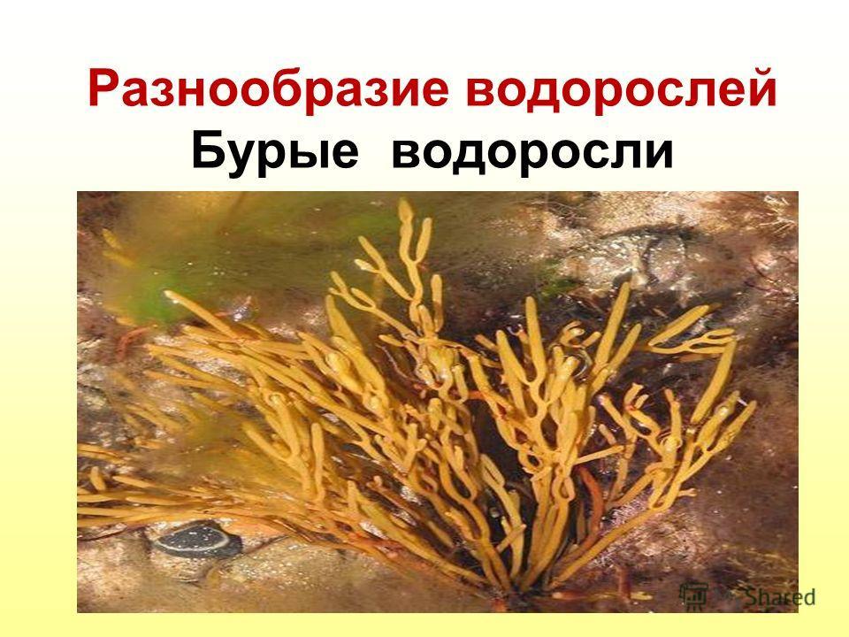 Разнообразие водорослей Бурые водоросли