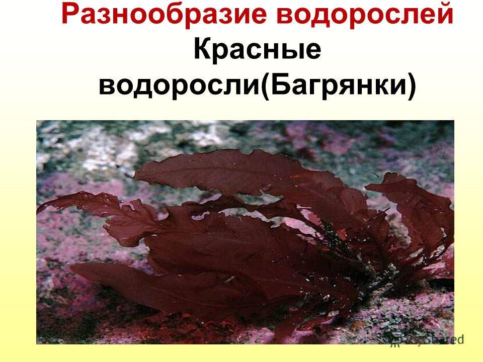 Разнообразие водорослей Красные водоросли(Багрянки)