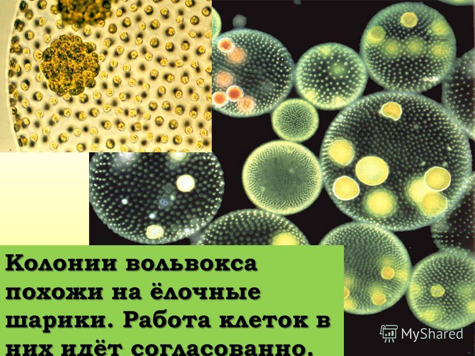 Колонии вольвокса похожи на ёлочные шарики. Работа клеток в них идёт согласованно.