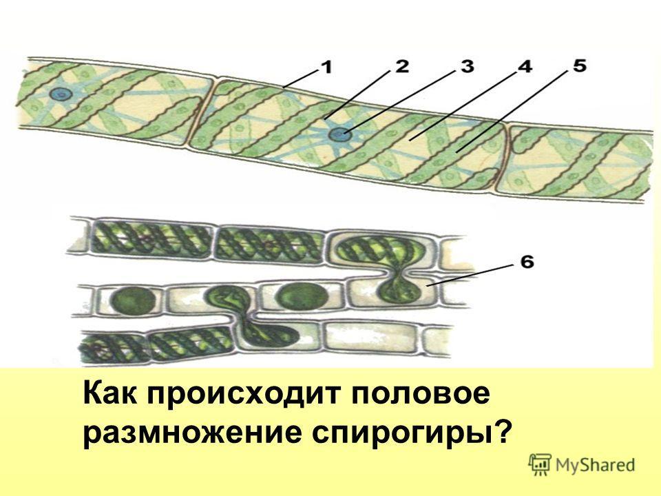 Что изображено на рисунке Как происходит половое размножение спирогиры?