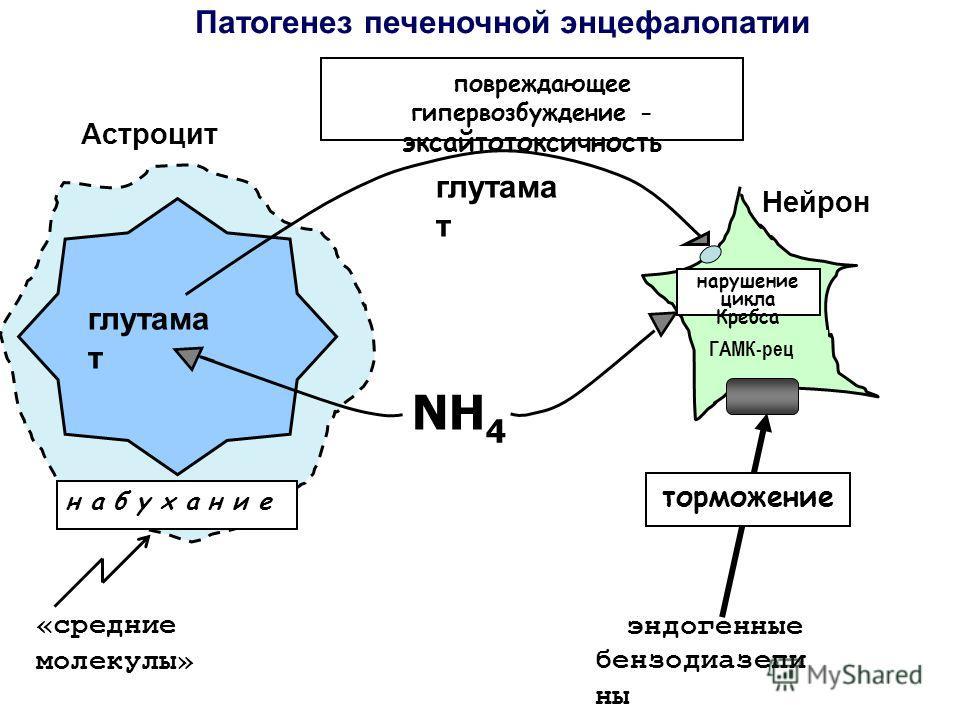 глутама т н а б у х а н и е Патогенез печеночной энцефалопатии Нейрон Астроцит NH 4 «средние молекулы» повреждающее гипервозбуждение - эксайтотоксичность глутама т эндогенные бензодиазепи ны торможение ГАМК-рец нарушение цикла Кребса