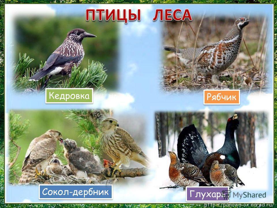 Кедровка Сокол-дербник Рябчик Глухарь
