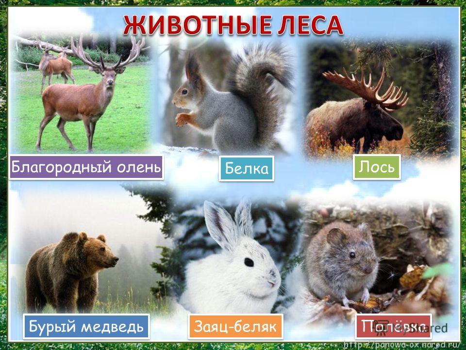 Полёвка Белка Лось Заяц-беляк Бурый медведь Благородный олень