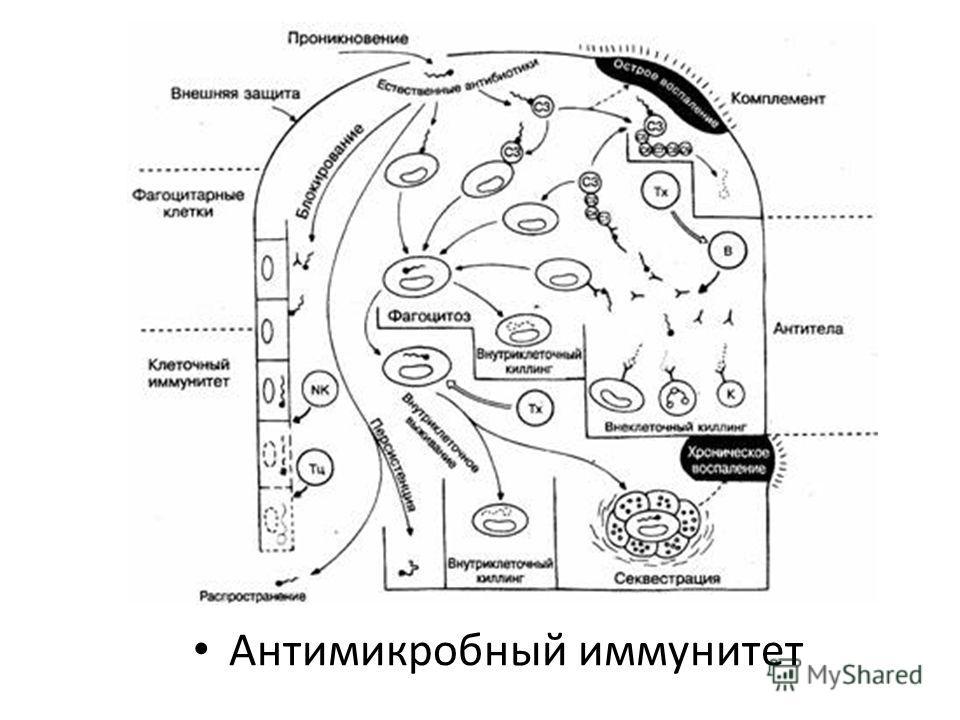 Антимикробный иммунитет