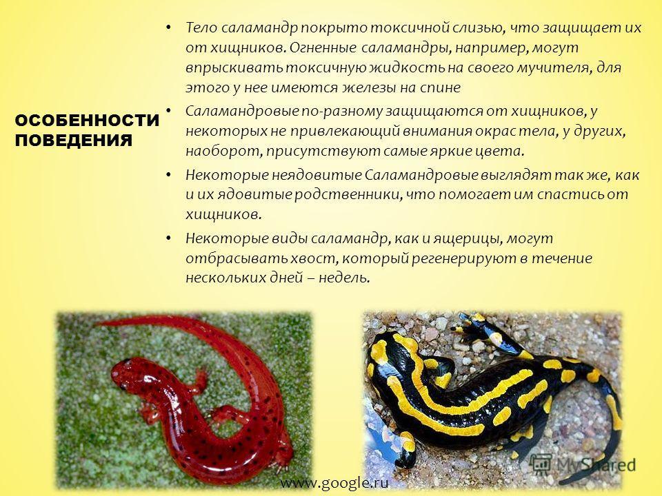Тело саламандр покрыто токсичной слизью, что защищает их от хищников. Огненные саламандры, например, могут впрыскивать токсичную жидкость на своего мучителя, для этого у нее имеются железы на спине Саламандровые по-разному защищаются от хищников, у н
