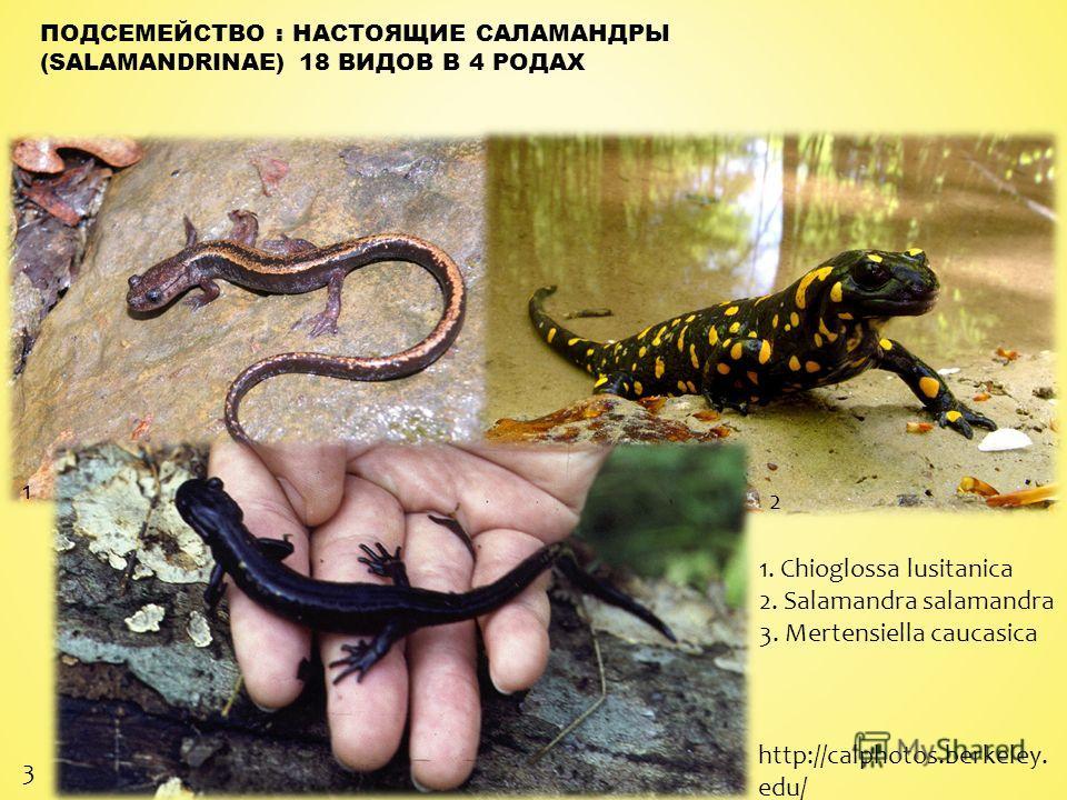 ПОДСЕМЕЙСТВО : НАСТОЯЩИЕ САЛАМАНДРЫ (SALAMANDRINAE) 18 ВИДОВ В 4 РОДАХ 1 2 3 1. Chioglossa lusitanica 2. Salamandra salamandra 3. Mertensiella caucasica http://calphotos.berkeley. edu/