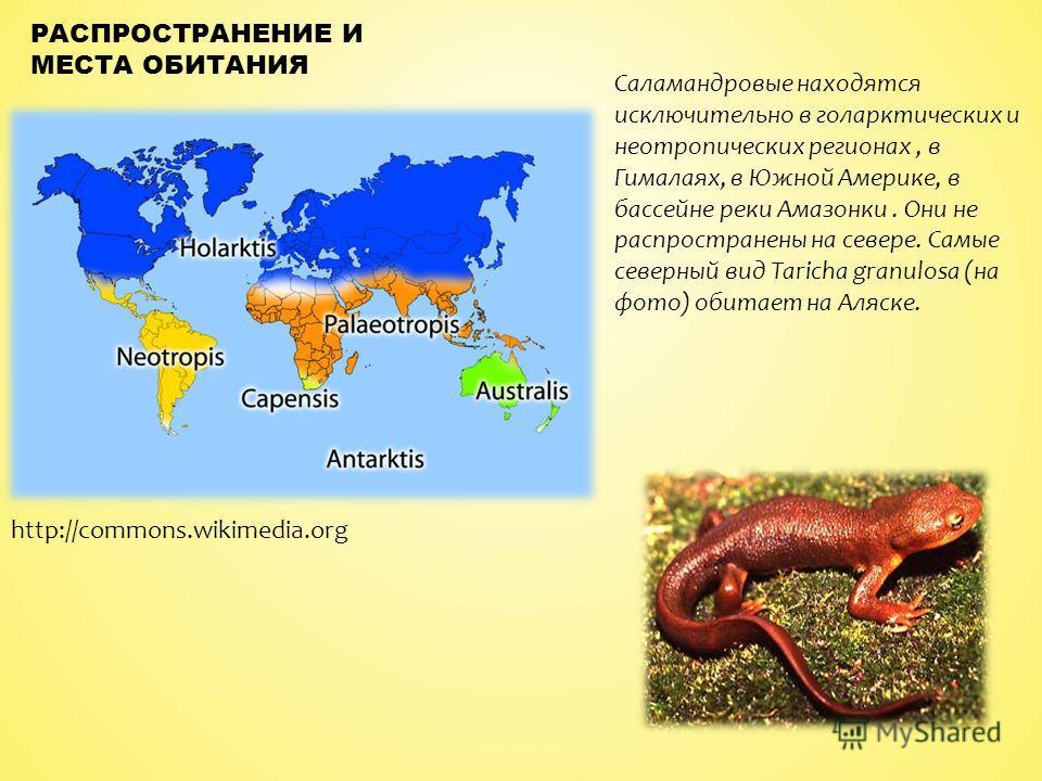 Саламандровые находятся исключительно в голарктических и неотропических регионах, в Гималаях, в Южной Америке, в бассейне реки Амазонки. Они не распространены на севере. Самые северный вид Taricha granulosa (на фото) обитает на Аляске. РАСПРОСТРАНЕНИ
