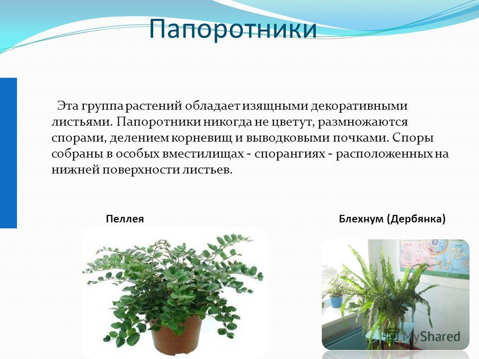 Папоротники Эта группа растений обладает изящными декоративными листьями. Папоротники никогда не цветут, размножаются спорами, делением корневищ и выводковыми почками. Споры собраны в особых вместилищах - спорангиях - расположенных на нижней поверхно