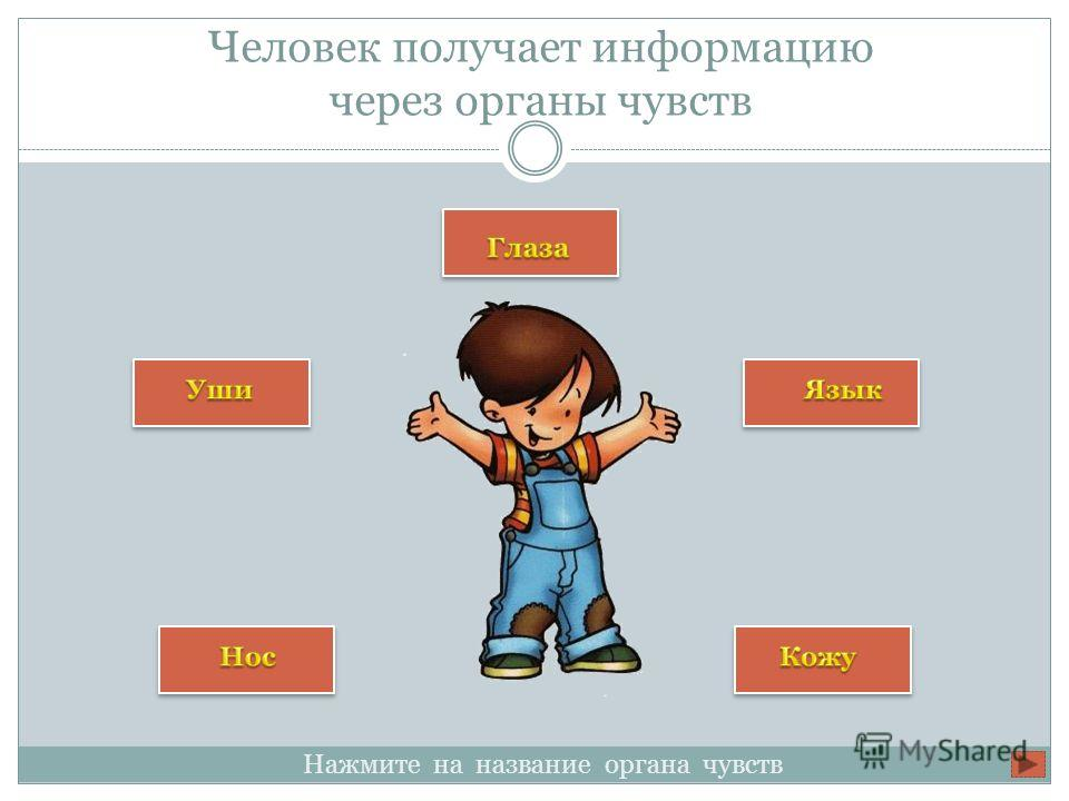 Человек получает информацию через органы чувств Нажмите на название органа чувств