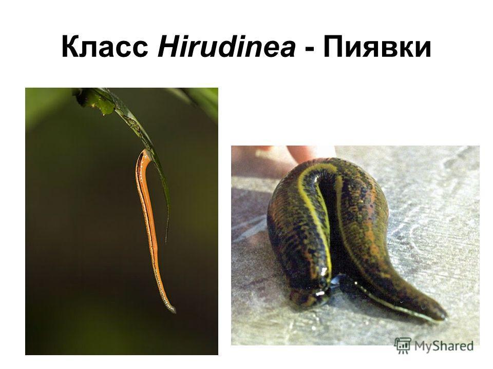 Класс Hirudinea - Пиявки