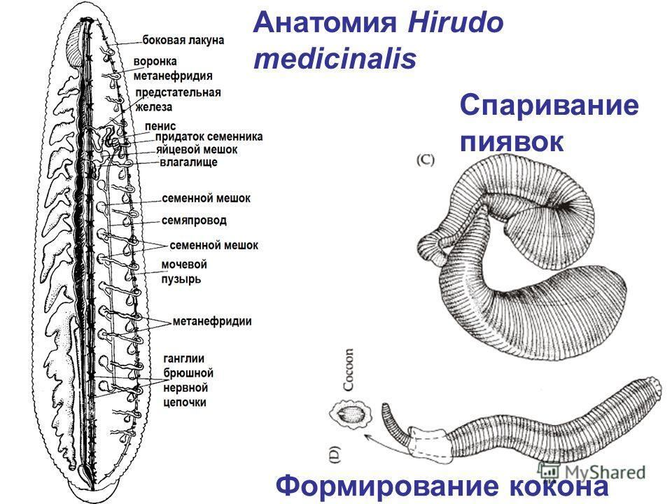 Анатомия Hirudo medicinalis Спаривание пиявок Формирование кокона