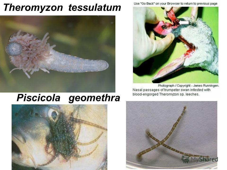 Theromyzon tessulatum Piscicola geomethra