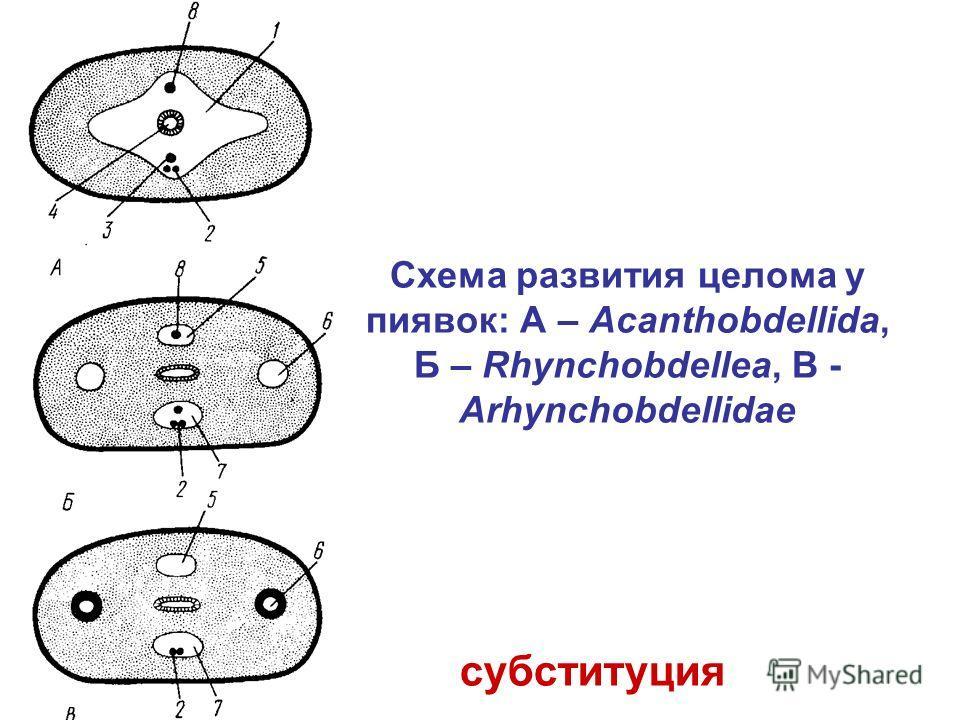 субституция Схема развития целома у пиявок: А – Acanthobdellida, Б – Rhynchobdellea, В - Arhynchobdellidae