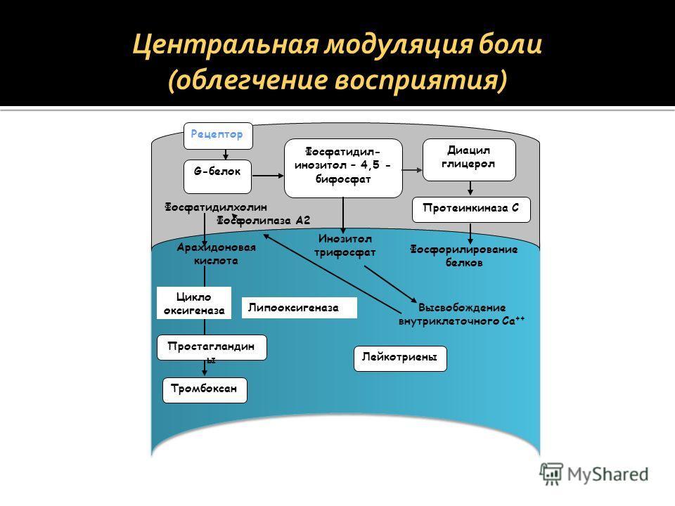 Рецептор G-белок Фосфатидил- инозитол – 4,5 - бифосфат Диацил глицерол Протеинкиназа С Фосфатидилхолин Инозитол трифосфат Фосфорилирование белков Высвобождение внутриклеточного Ca ++ Арахидоновая кислота Тромбоксан Лейкотриены Липооксигеназа Простагл