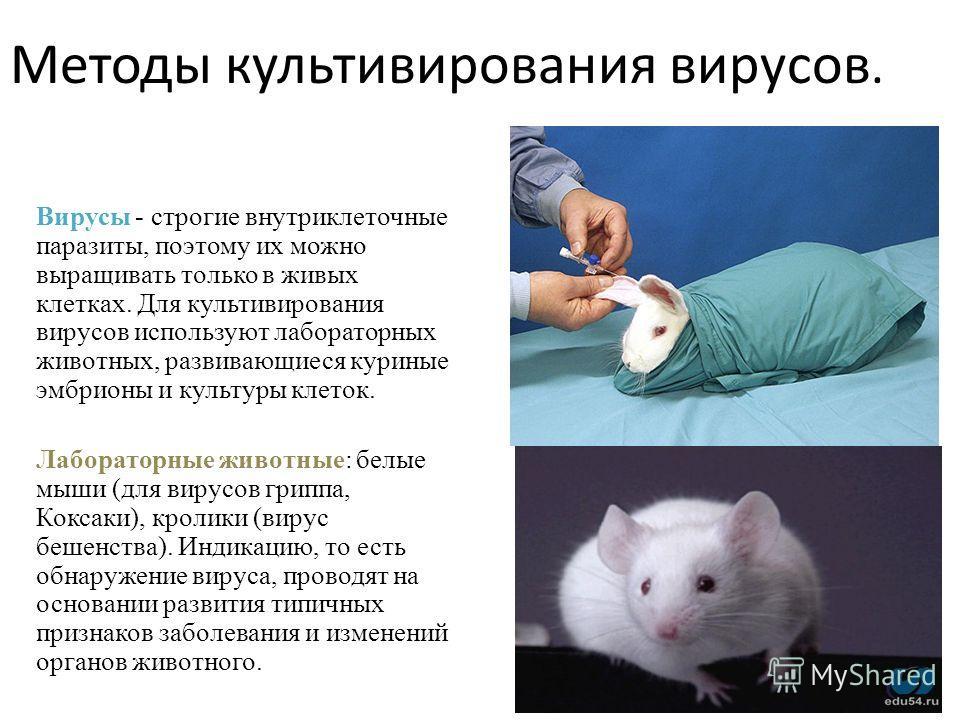 Методы культивирования вирусов. Вирусы - строгие внутриклеточные паразиты, поэтому их можно выращивать только в живых клетках. Для культивирования вирусов используют лабораторных животных, развивающиеся куриные эмбрионы и культуры клеток. Лабораторны