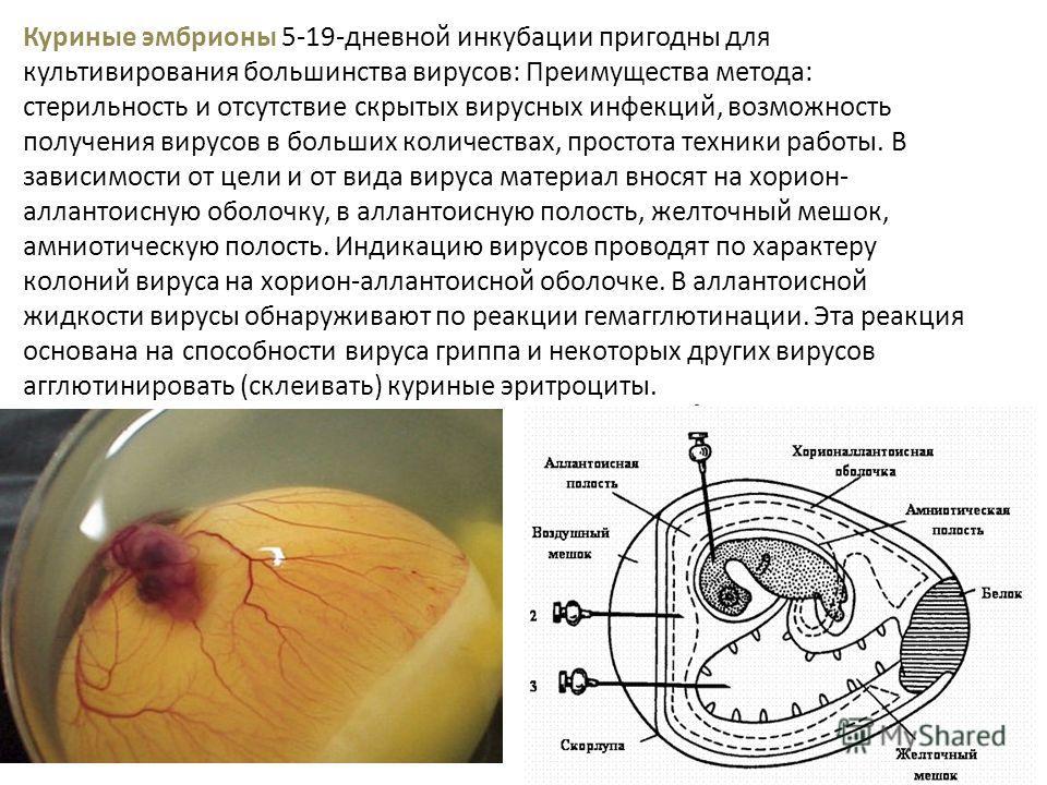 Куриные эмбрионы 5-19-дневной инкубации пригодны для культивирования большинства вирусов: Преимущества метода: стерильность и отсутствие скрытых вирусных инфекций, возможность получения вирусов в больших количествах, простота техники работы. В зависи