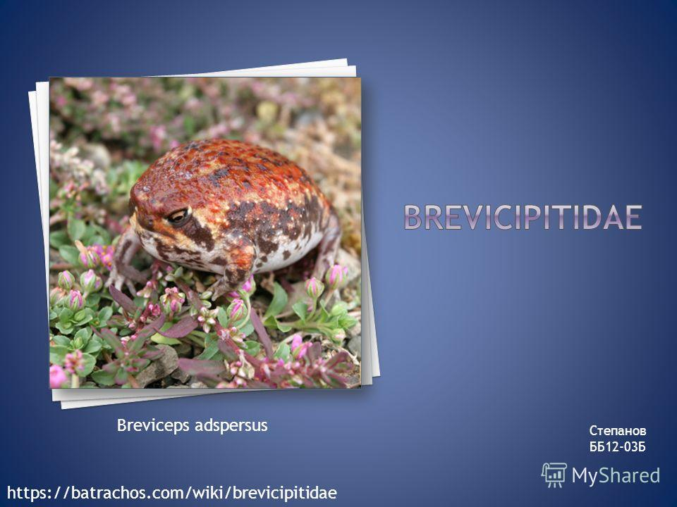Степанов ББ12-03Б Breviceps adspersus https://batrachos.com/wiki/brevicipitidae